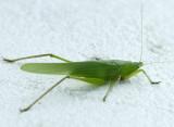Grasshopper D11 #1032