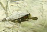 Turtle D11 #1514