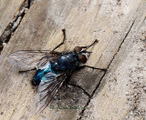 Blow Fly-Calliphoridae AP12 #4444