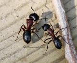 Camponotus novaeboracensis MR12 #3546