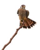 American Kestrel (Falcon Comun)