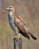 Red-Shouldered Hawk (Immature)