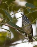 Elfin-woods Warbler  (Reinita de Bosque Enano) [ENDEMIC]