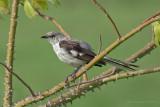 Northern Mockingbird (Ruiseñor)