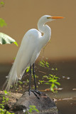 Great Egret (Garza Real)
