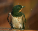 A Resting Swallow