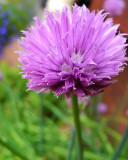 A Chive Blossom