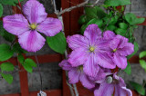 The clematis in a shady spot