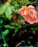 The shy peach coloured rose