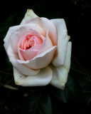 Fading roses are still beautiful