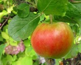 The first apple on the little apple tree