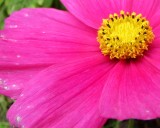 The simple but radiant pink cosmos