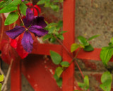 A late blooming clematis