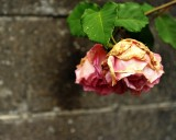 Fading rose on a rainy day