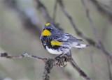 2624 Yellow -rumped Warbler