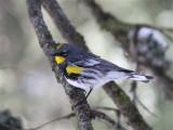 2633 Yellow -rumped Warbler