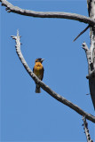 3002 Black-headed Grosbeak