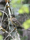 3817 Black-headed Grosbeak (f)