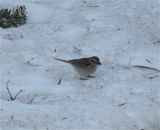 3306 Chipping Sparrow