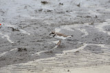 7123 Semipalmated Plover
