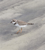 7517 Semipalmated Plover