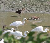 1786 - White Ibis (Immature)