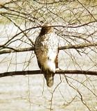 Coopers Hawk Jan 2008