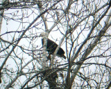9973 Bald Eagle in the Trees
