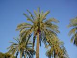 palms at sun set
