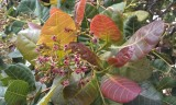 Cashew Fruit blossoms
