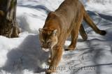 267 Cougar 1.jpg