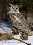 267 Great horned Owl 3.jpg