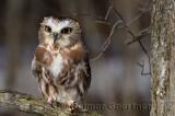 267 Northern Saw-whet Owl 1.jpg