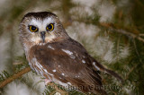 267 Northern Saw-whet Owl 5.jpg