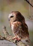 267 Northern Saw-whet Owl 6.jpg