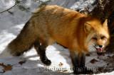 267 Red Fox 1.jpg