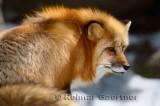 267 Red Fox 6.jpg