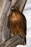 267 Red Tailed Hawk 1.jpg