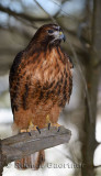 267 Red Tailed Hawk 2.jpg