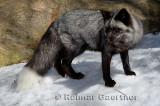 267 Silver Fox 1.jpg