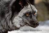 267 Silver Fox 3.jpg