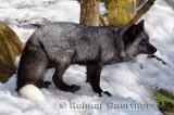 267 Silver Fox 4.jpg