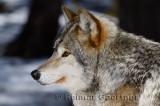 267 Wolf 2.jpg