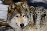 267 Wolf 3.jpg