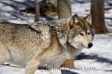 267 Wolf 4.jpg