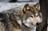 267 Wolf 5.jpg