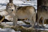 267 Wolf 6.jpg