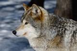 267 Wolf 9.jpg