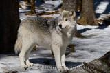267 Wolf 11.jpg