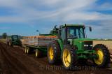 278 Onion harvest 7.jpg